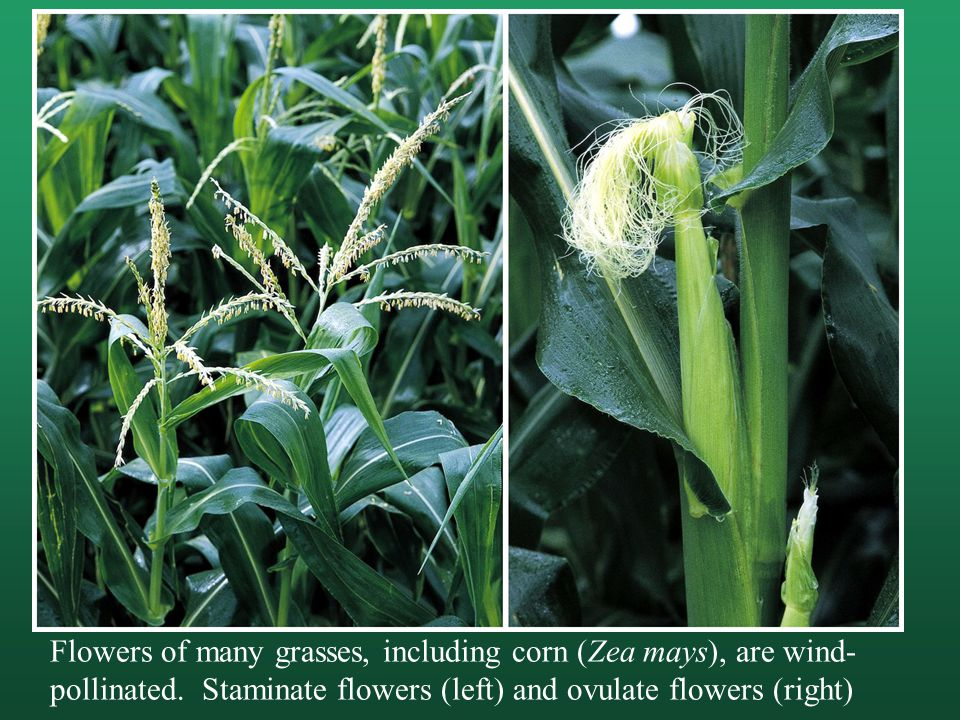 Flowers of many grasses, including corn (Zea mays), are wind-pollinated.