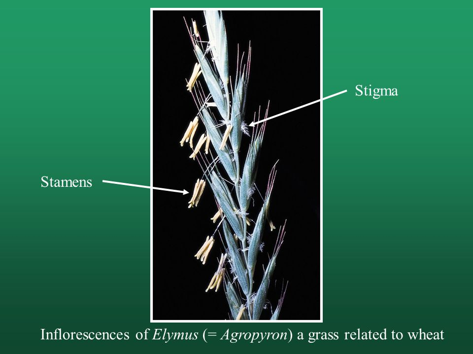 Stigma Stamens Inflorescences of Elymus (= Agropyron) a grass related to wheat