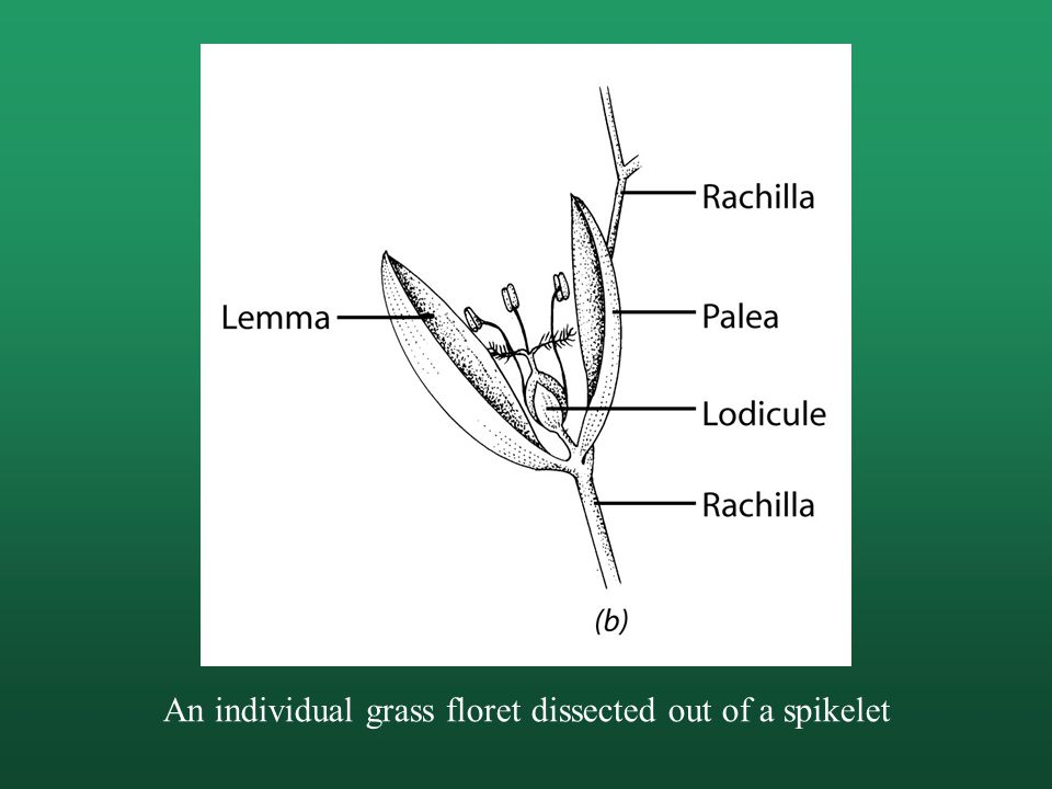 An individual grass floret dissected out of a spikelet