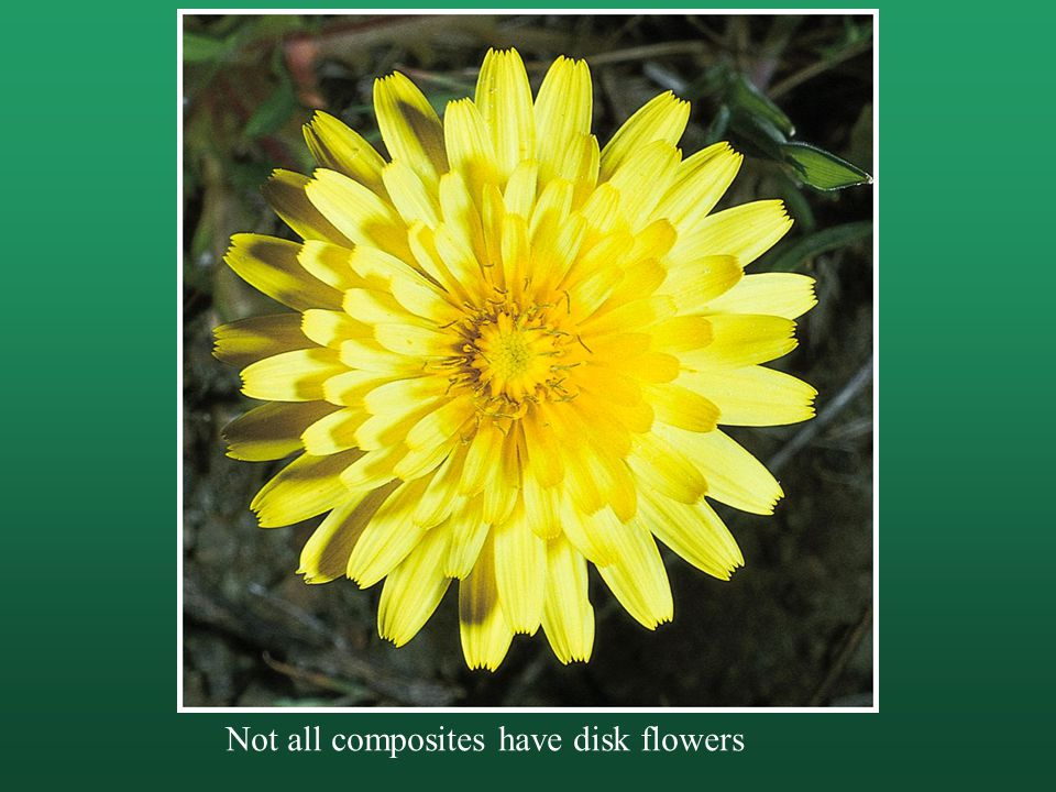 Not all composites have disk flowers