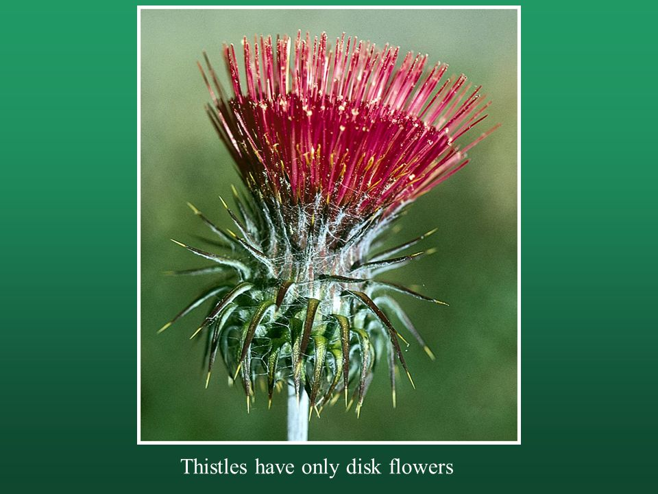 Thistles have only disk flowers