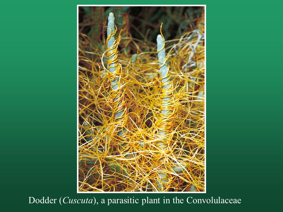 Dodder (Cuscuta), a parasitic plant in the Convolulaceae
