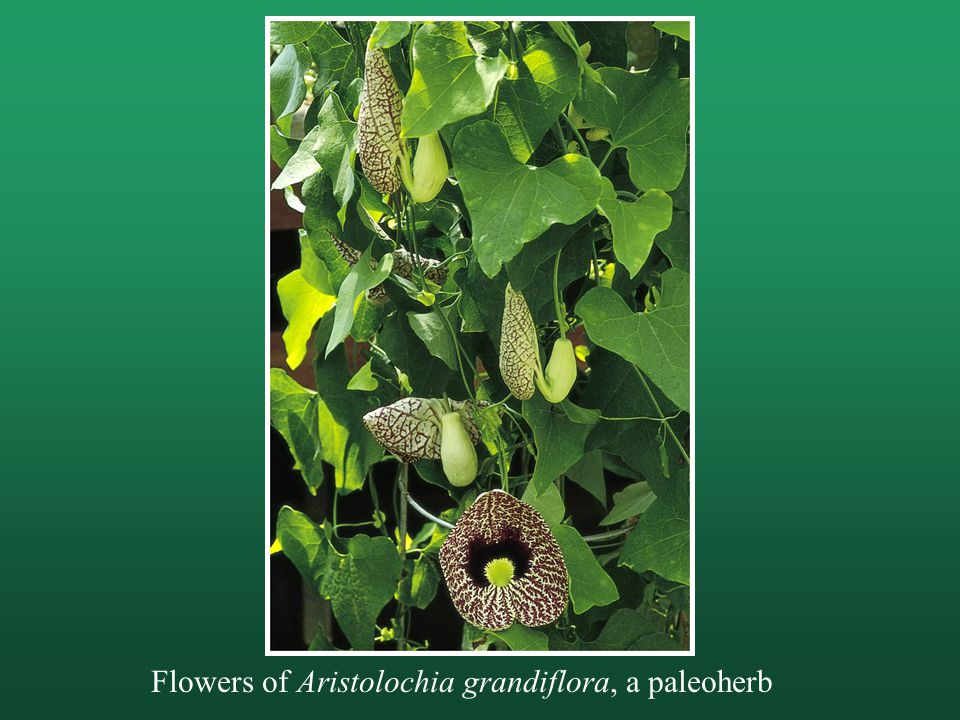 Flowers of Aristolochia grandiflora, a paleoherb
