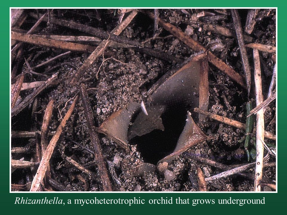 Rhizanthella, a mycoheterotrophic orchid that grows underground