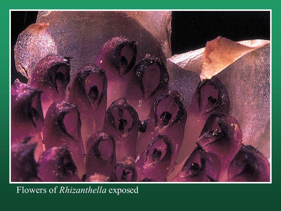 Flowers of Rhizanthella exposed