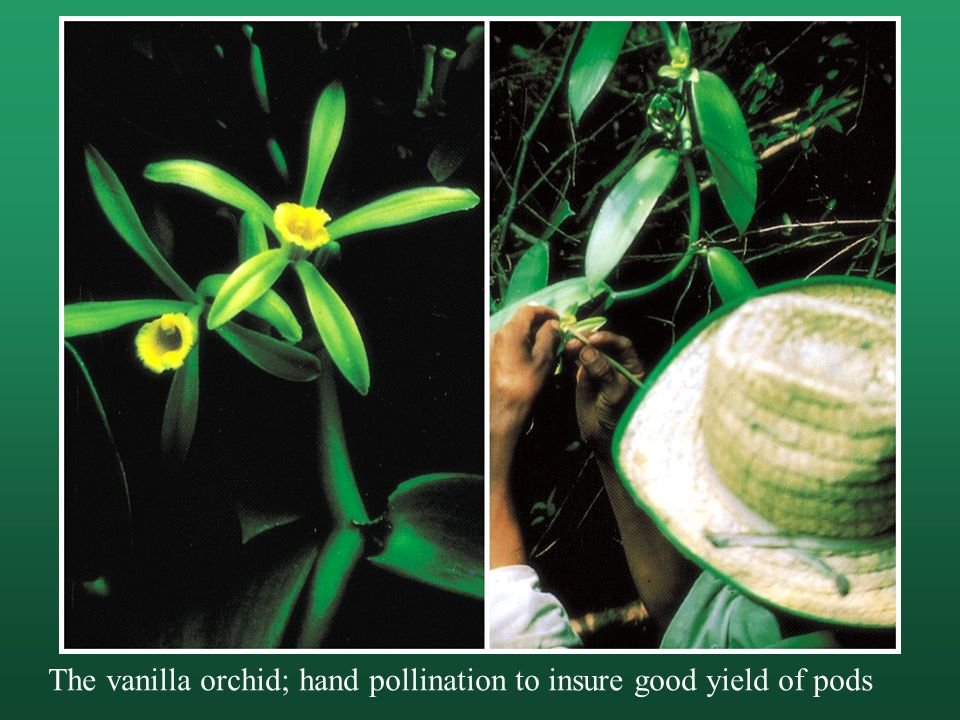 The vanilla orchid; hand pollination to insure good yield of pods