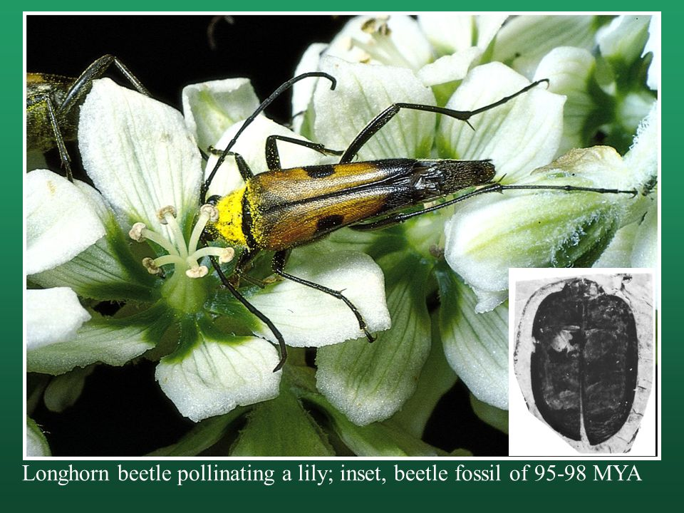 Longhorn beetle pollinating a lily; inset, beetle fossil of 95-98 MYA