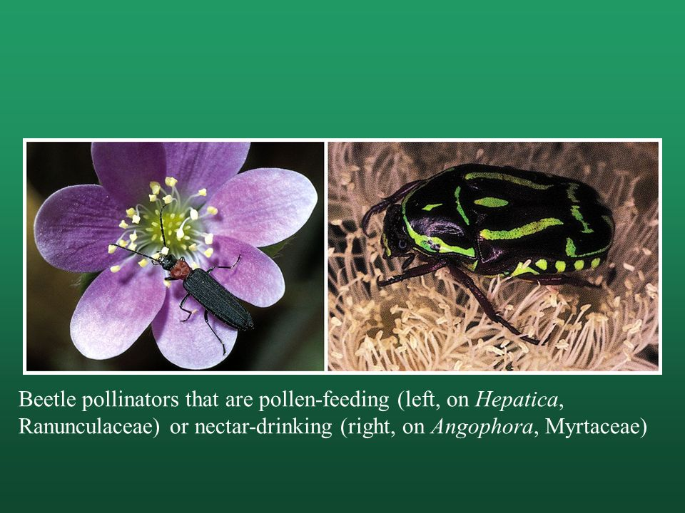 Beetle pollinators that are pollen-feeding (left, on Hepatica, Ranunculaceae) or nectar-drinking (right, on Angophora, Myrtaceae)