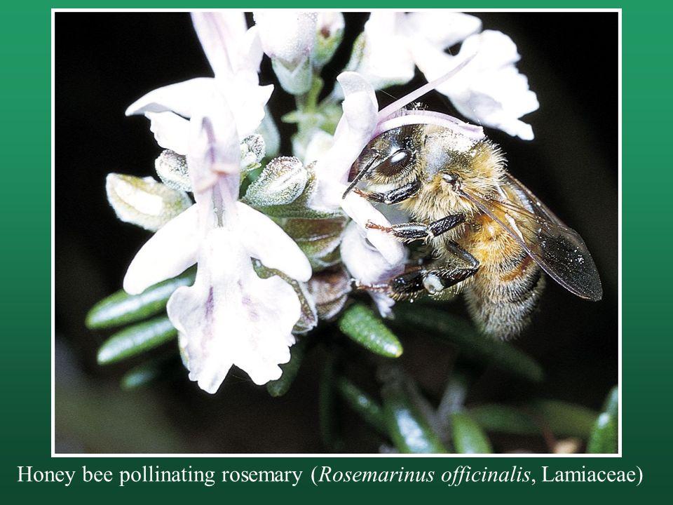 Honey bee pollinating rosemary (Rosemarinus officinalis, Lamiaceae)
