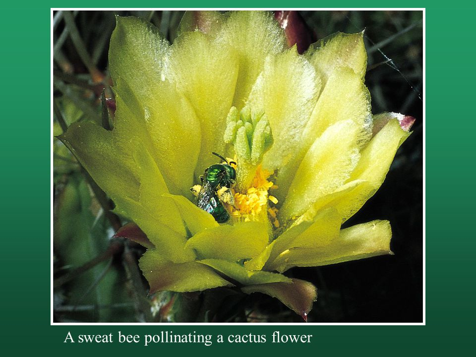 A sweat bee pollinating a cactus flower