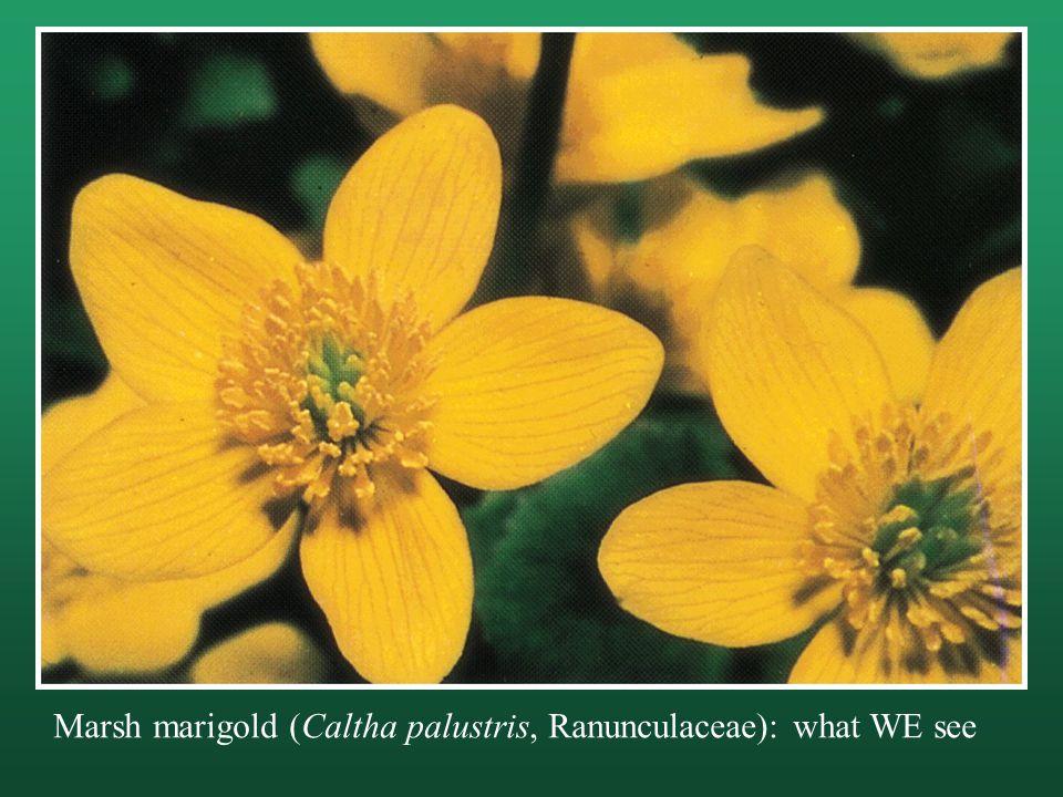 Marsh marigold (Caltha palustris, Ranunculaceae): what WE see