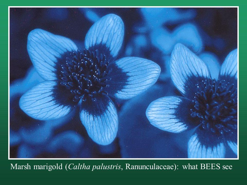 Marsh marigold (Caltha palustris, Ranunculaceae): what BEES see