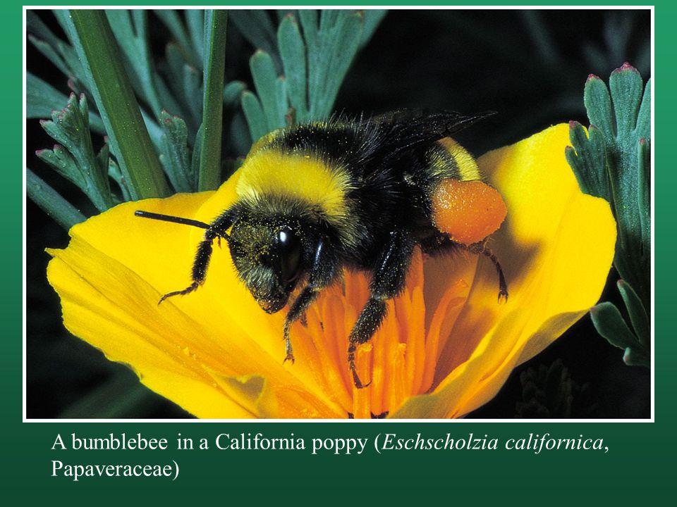 A bumblebee in a California poppy (Eschscholzia californica, Papaveraceae)