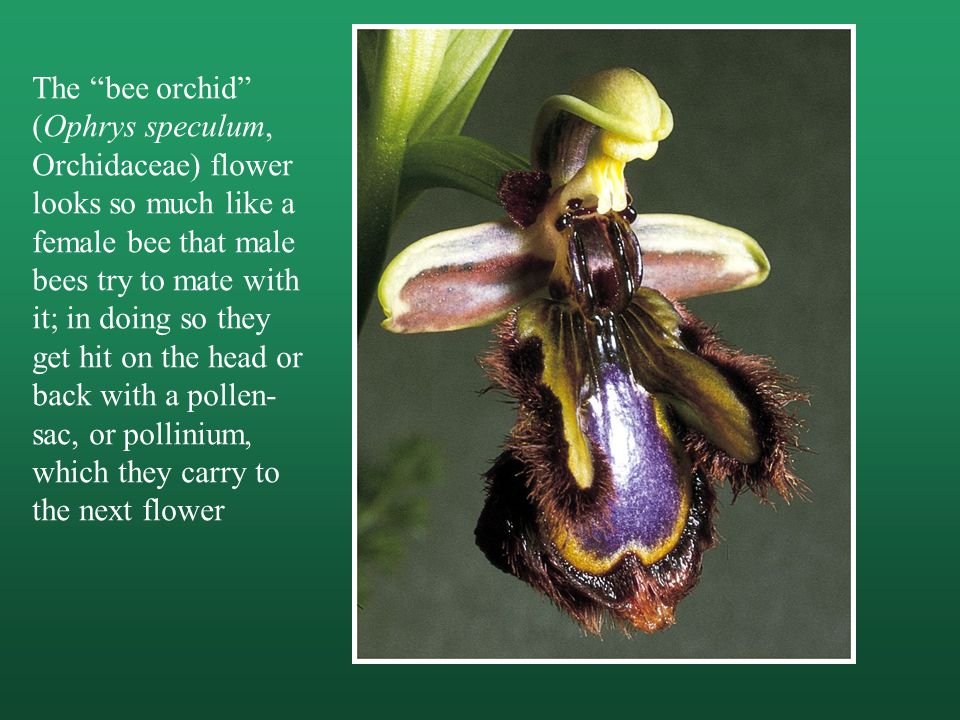 The bee orchid (Ophrys speculum, Orchidaceae) flower looks so much like a female bee that male bees try to mate with it; in doing so they get hit on the head or back with a pollen-sac, or pollinium, which they carry to the next flower