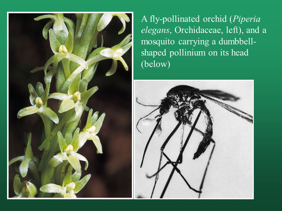 A fly-pollinated orchid (Piperia elegans, Orchidaceae, left), and a mosquito carrying a dumbbell-shaped pollinium on its head (below)