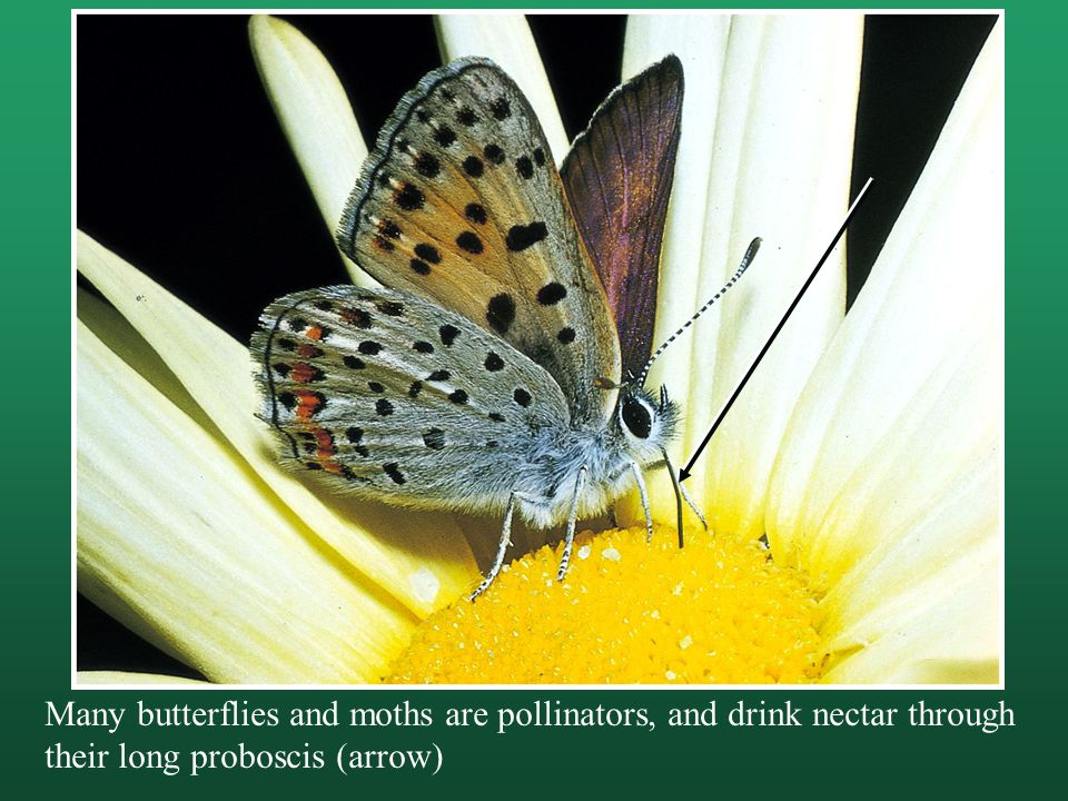 Many butterflies and moths are pollinators, and drink nectar through their long proboscis (arrow)