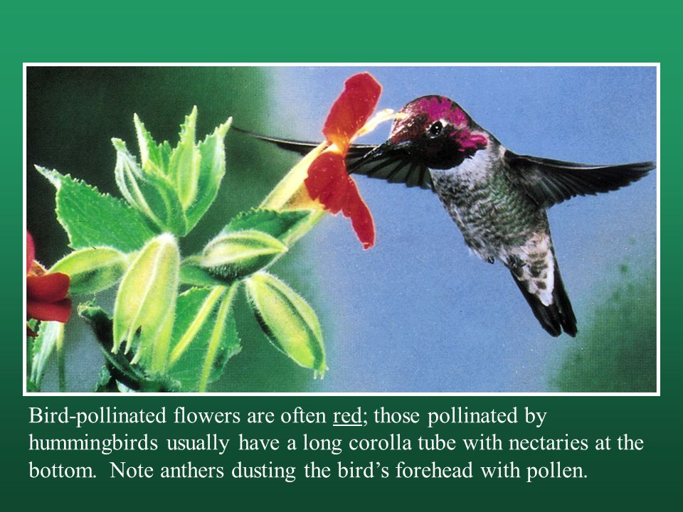 Bird-pollinated flowers are often red; those pollinated by hummingbirds usually have a long corolla tube with nectaries at the bottom.