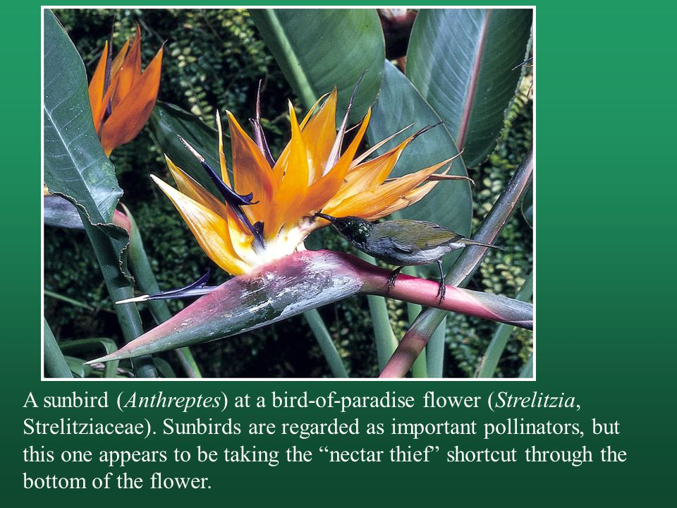 A sunbird (Anthreptes) at a bird-of-paradise flower (Strelitzia, Strelitziaceae).