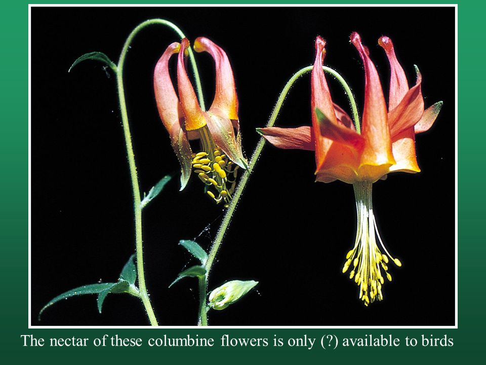 The nectar of these columbine flowers is only ( ) available to birds