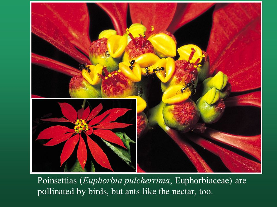 Poinsettias (Euphorbia pulcherrima, Euphorbiaceae) are pollinated by birds, but ants like the nectar, too.