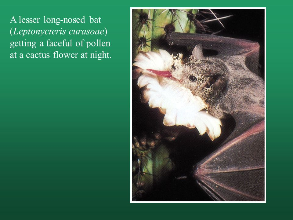 A lesser long-nosed bat (Leptonycteris curasoae) getting a faceful of pollen at a cactus flower at night.