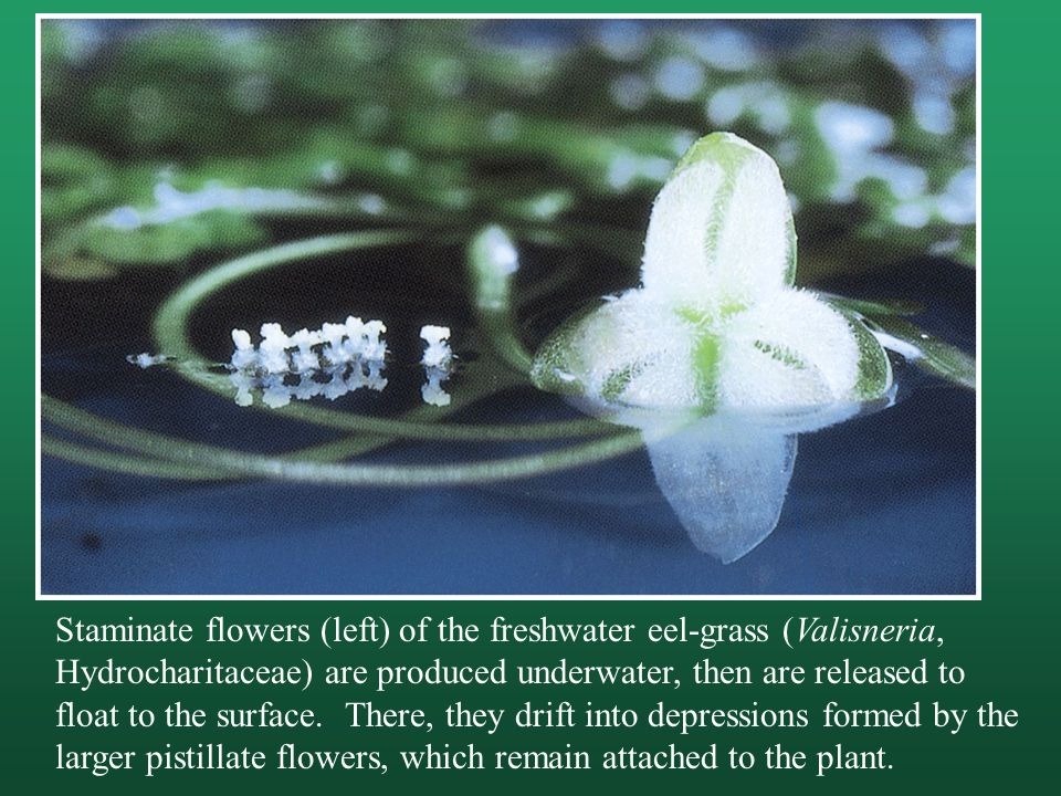 Staminate flowers (left) of the freshwater eel-grass (Valisneria, Hydrocharitaceae) are produced underwater, then are released to float to the surface.