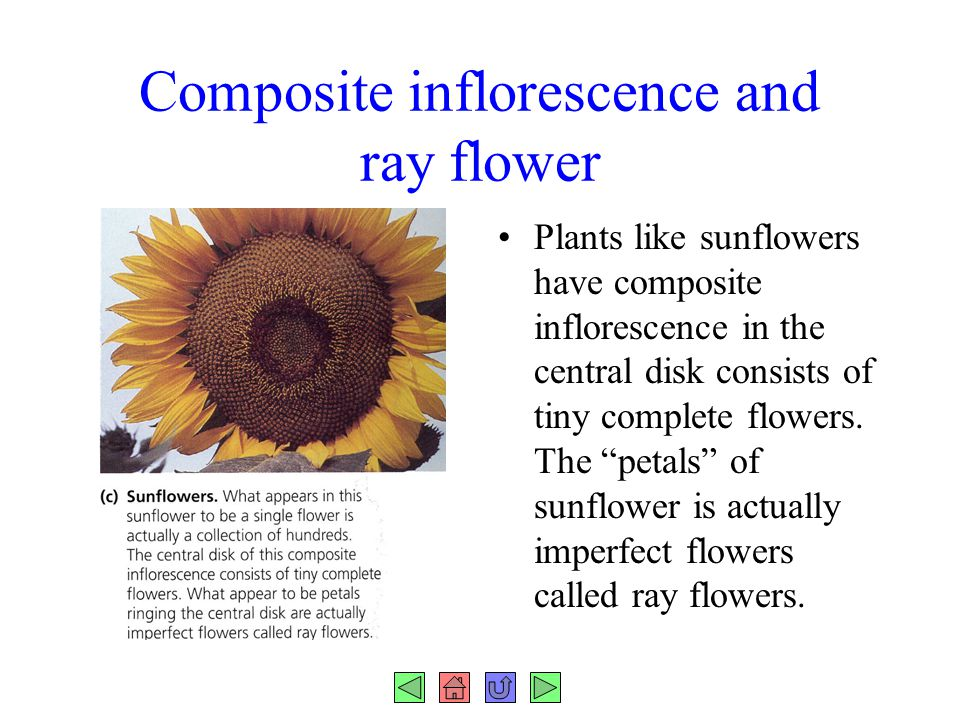 Composite inflorescence and ray flower