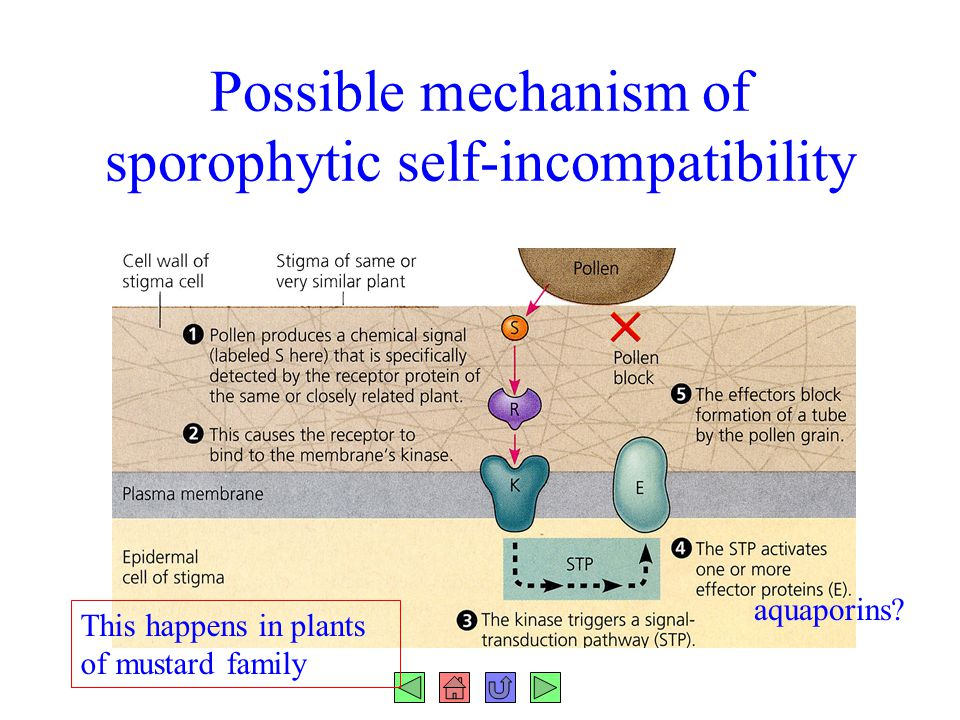 Possible mechanism of sporophytic self-incompatibility