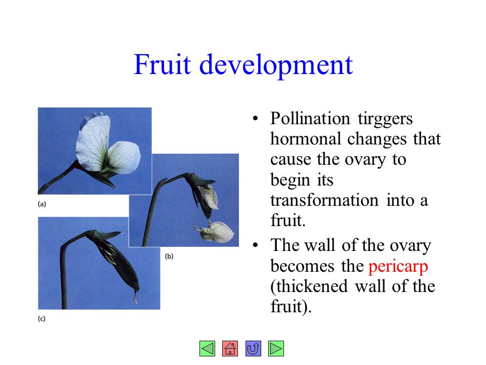 Fruit development Pollination tirggers hormonal changes that cause the ovary to begin its transformation into a fruit.