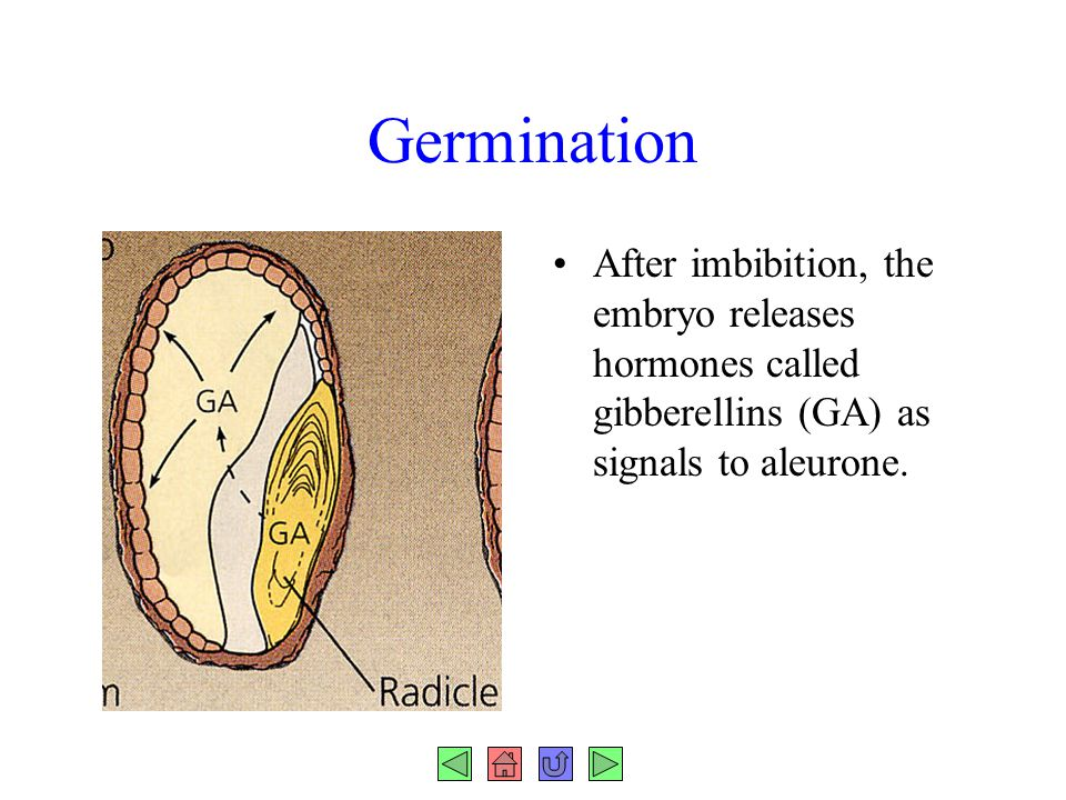 Germination After imbibition, the embryo releases hormones called gibberellins (GA) as signals to aleurone.
