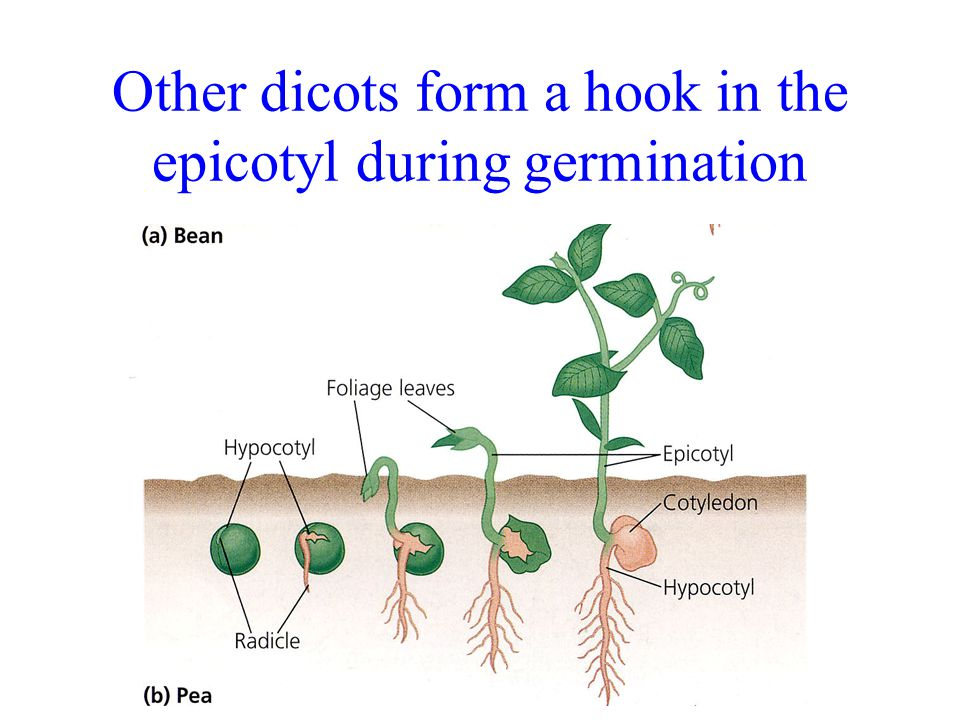 Other dicots form a hook in the epicotyl during germination