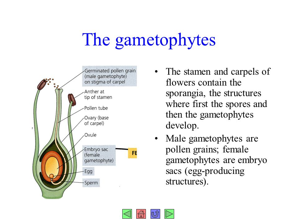The gametophytes The stamen and carpels of flowers contain the sporangia, the structures where first the spores and then the gametophytes develop.