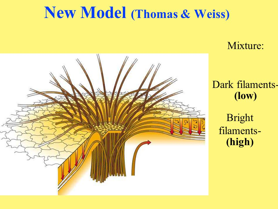 New Model (Thomas & Weiss)