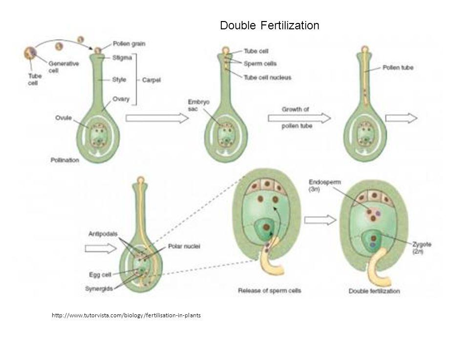 Double Fertilization http://www.tutorvista.com/biology/fertilisation-in-plants