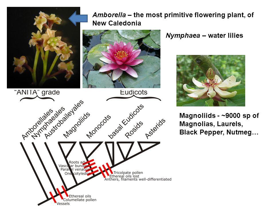 Amborella – the most primitive flowering plant, of New Caledonia