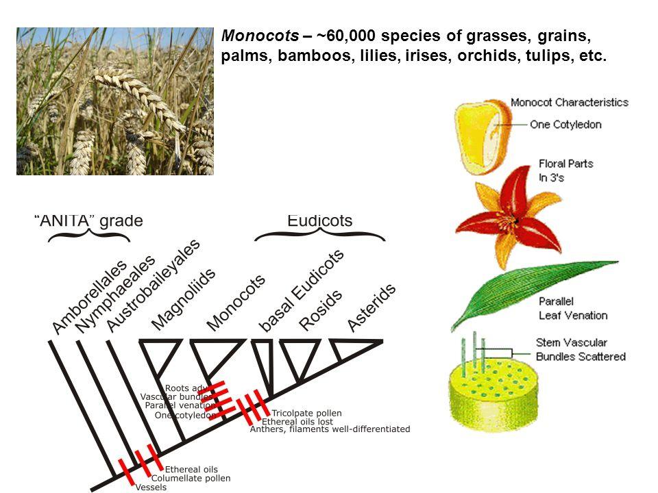 Monocots – ~60,000 species of grasses, grains, palms, bamboos, lilies, irises, orchids, tulips, etc.