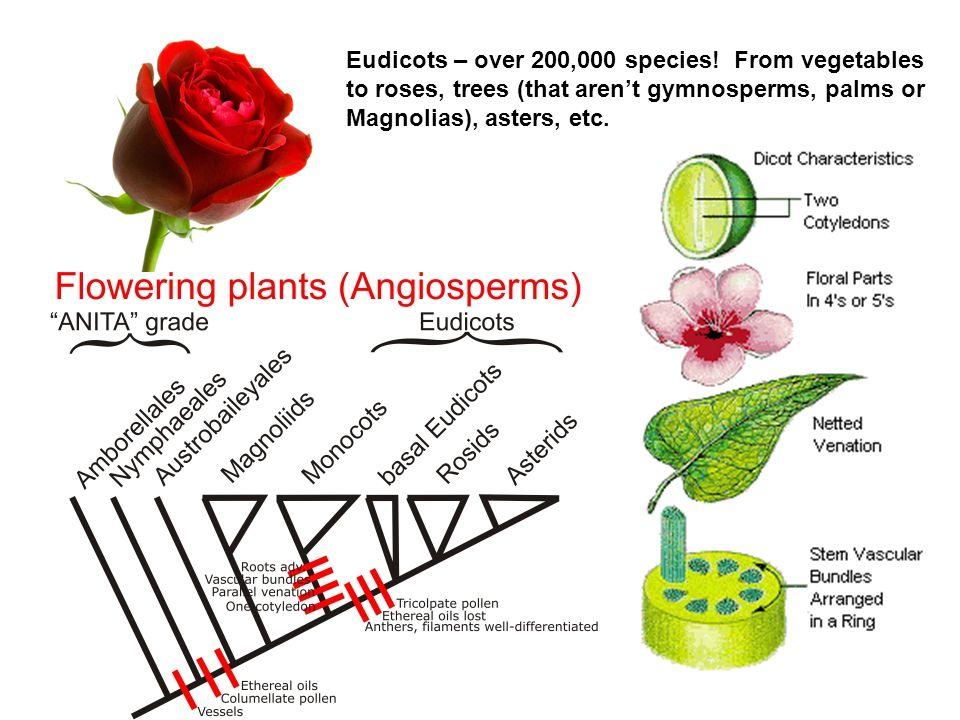 Eudicots – over 200,000 species