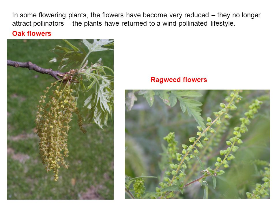 In some flowering plants, the flowers have become very reduced – they no longer attract pollinators – the plants have returned to a wind-pollinated lifestyle.