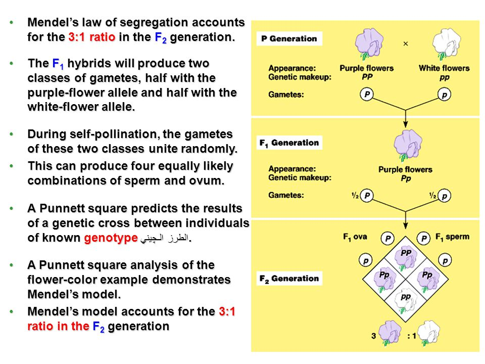 Mendel's law of segregation accounts for the 3:1 ratio in the F2 generation.