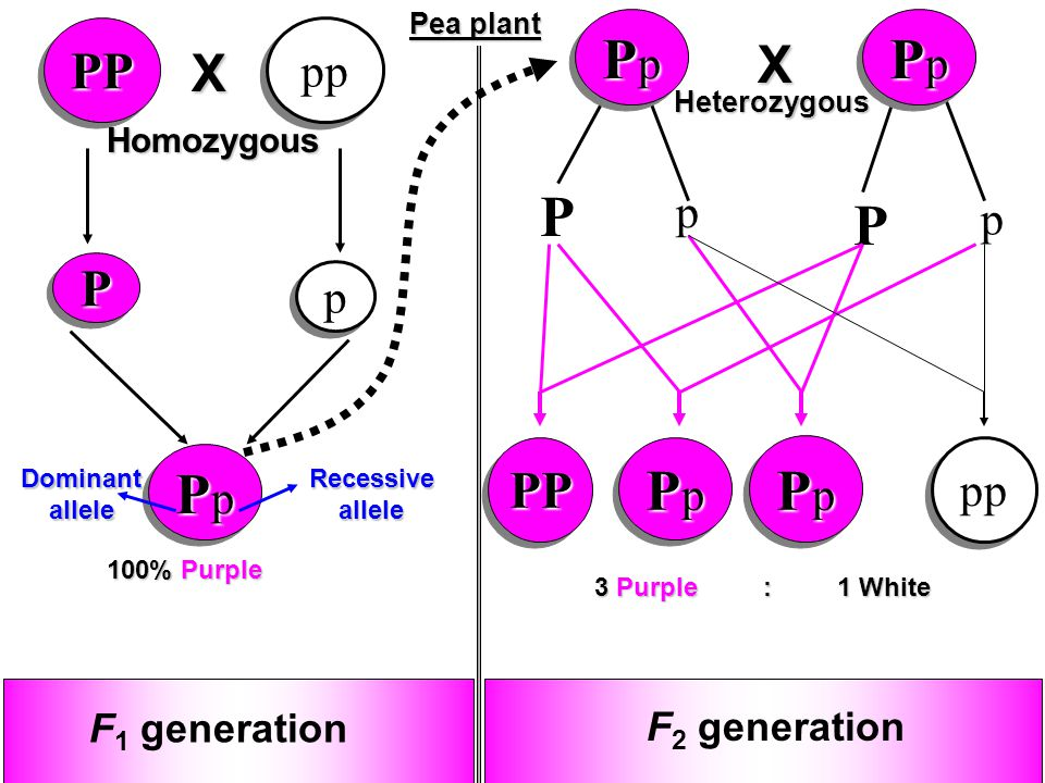 MENDEL AND THE GENE ID...P Generation