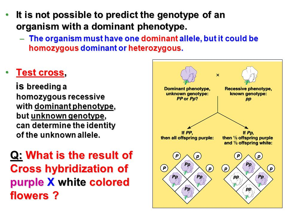 It is not possible to predict the genotype of an organism with a dominant phenotype.