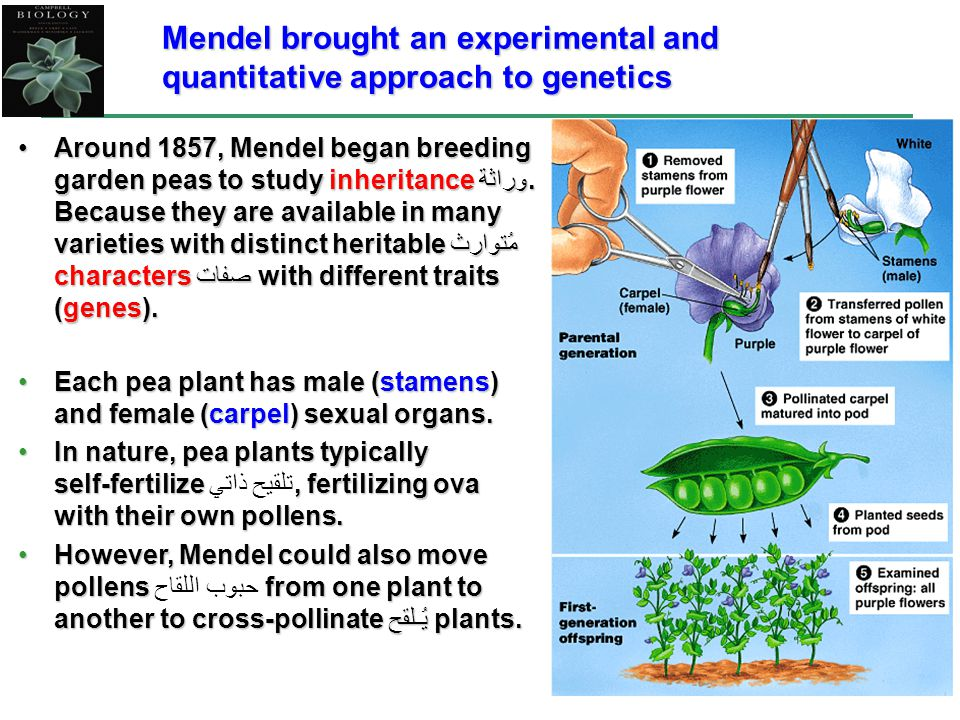 Mendel brought an experimental and quantitative approach to genetics