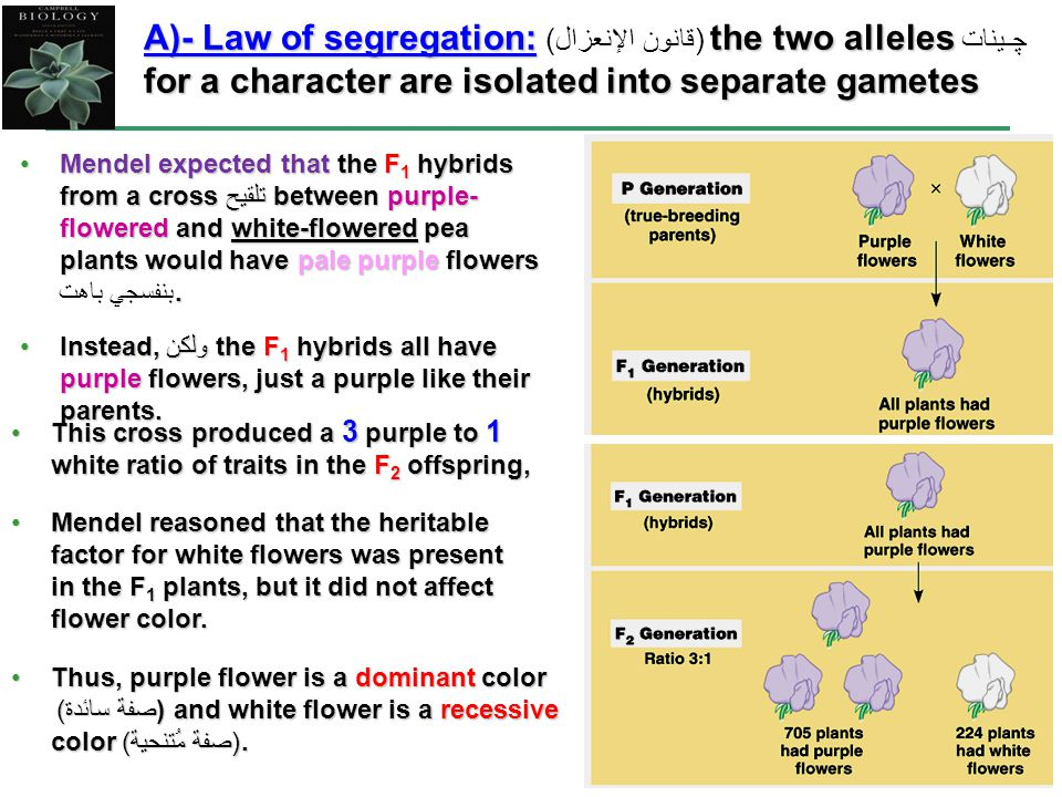 A)- Law of segregation: قانون الإنعزال)) the two alleles ﭽـينات for a character are isolated into separate gametes