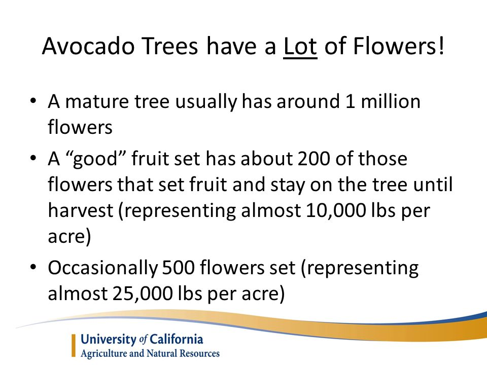 Avocado Trees have a Lot of Flowers!