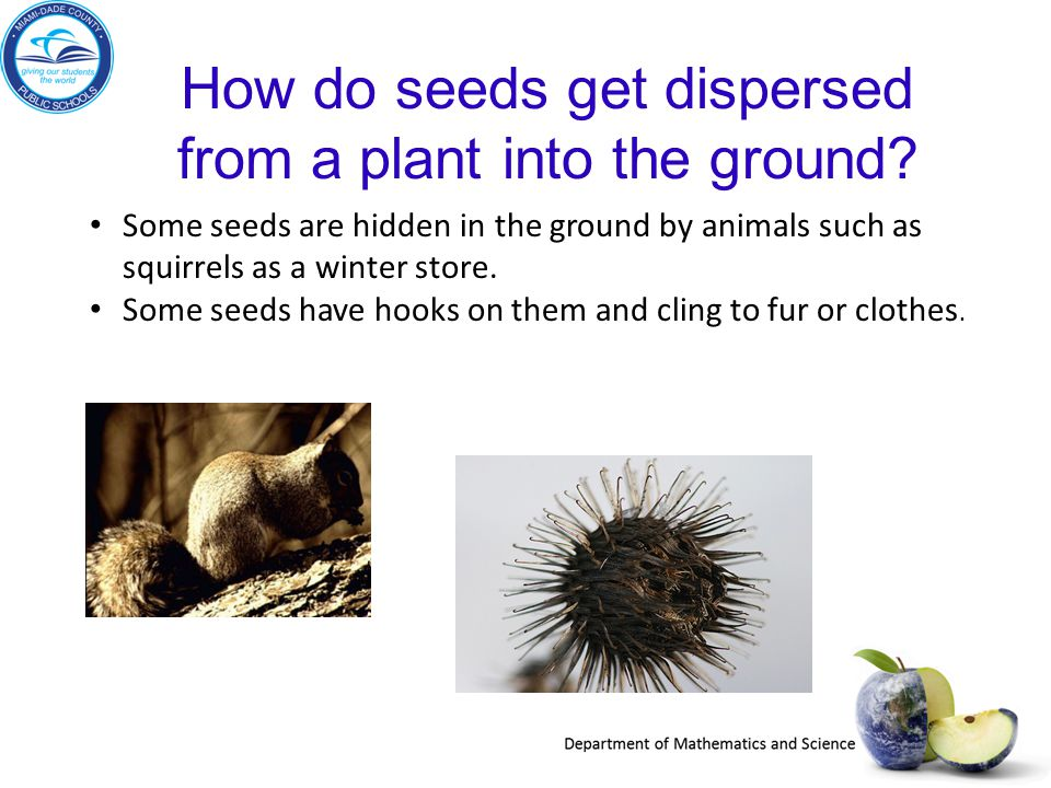 How do seeds get dispersed from a plant into the ground