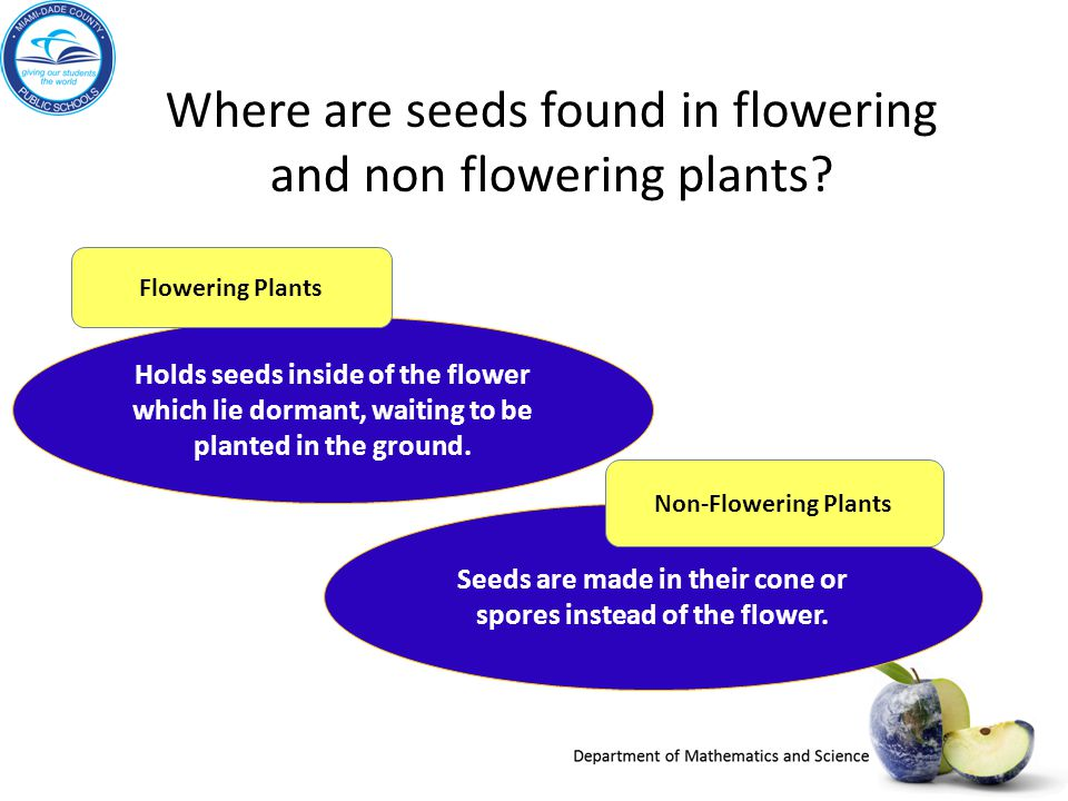 Seeds are made in their cone or spores instead of the flower.