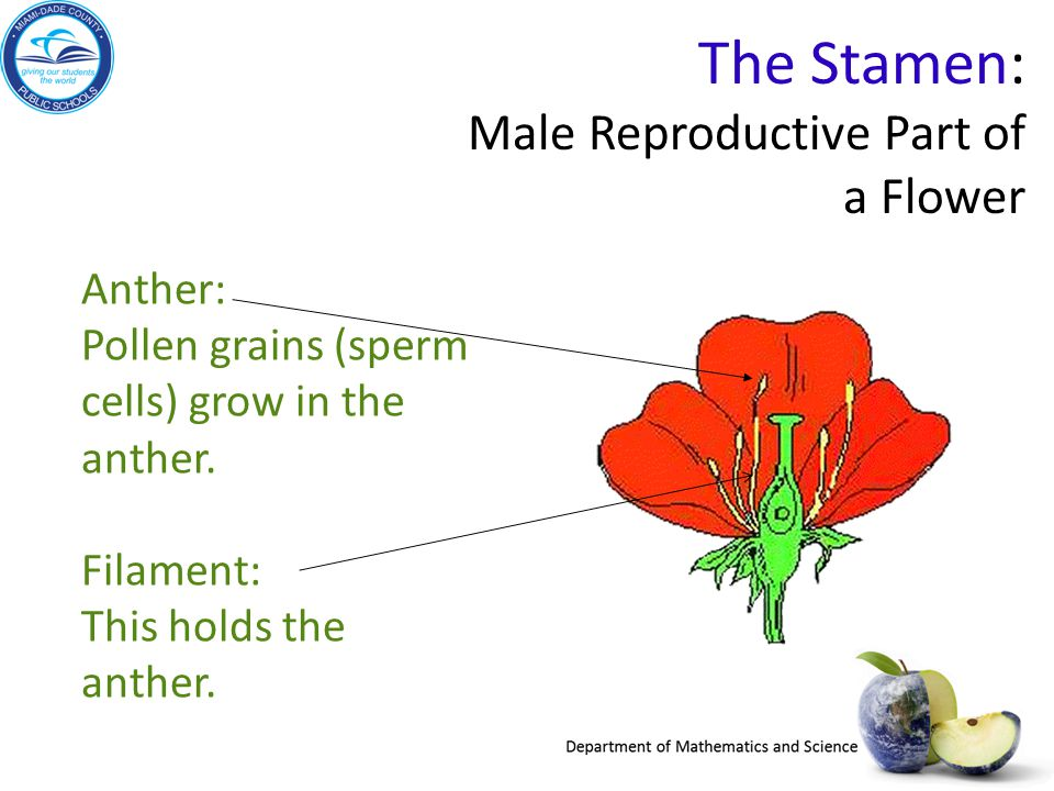 The Stamen: Male Reproductive Part of a Flower