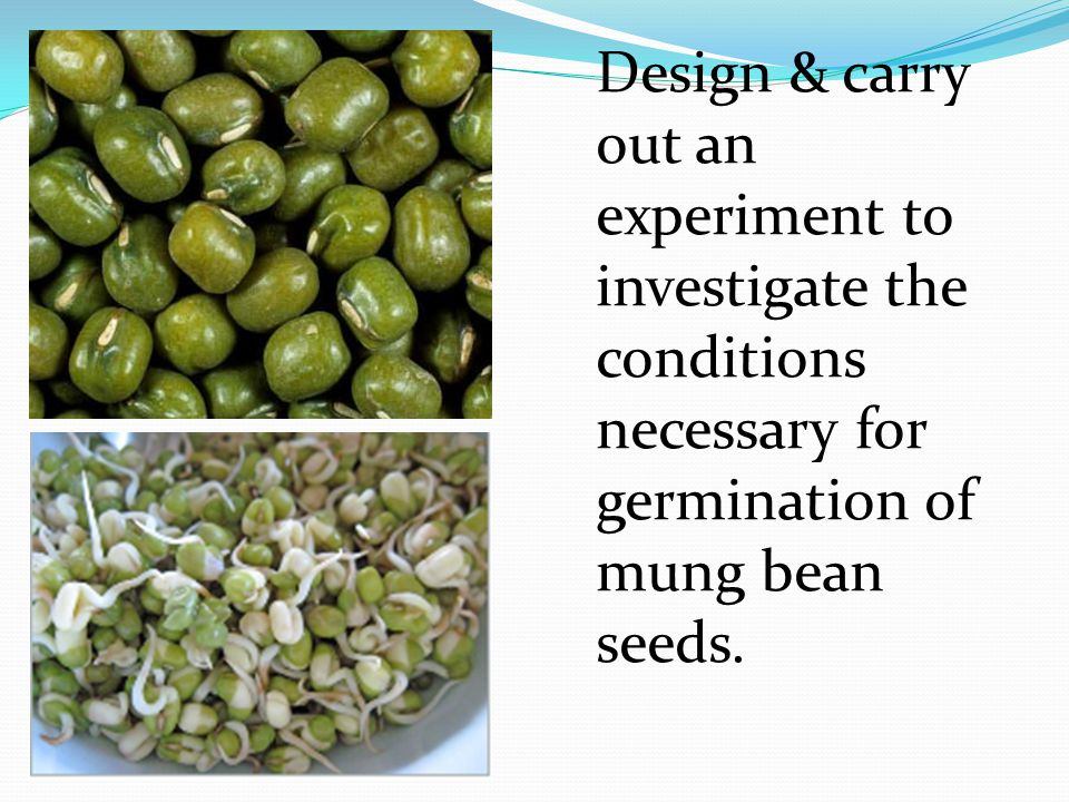 Design & carry out an experiment to investigate the conditions necessary for germination of mung bean seeds.
