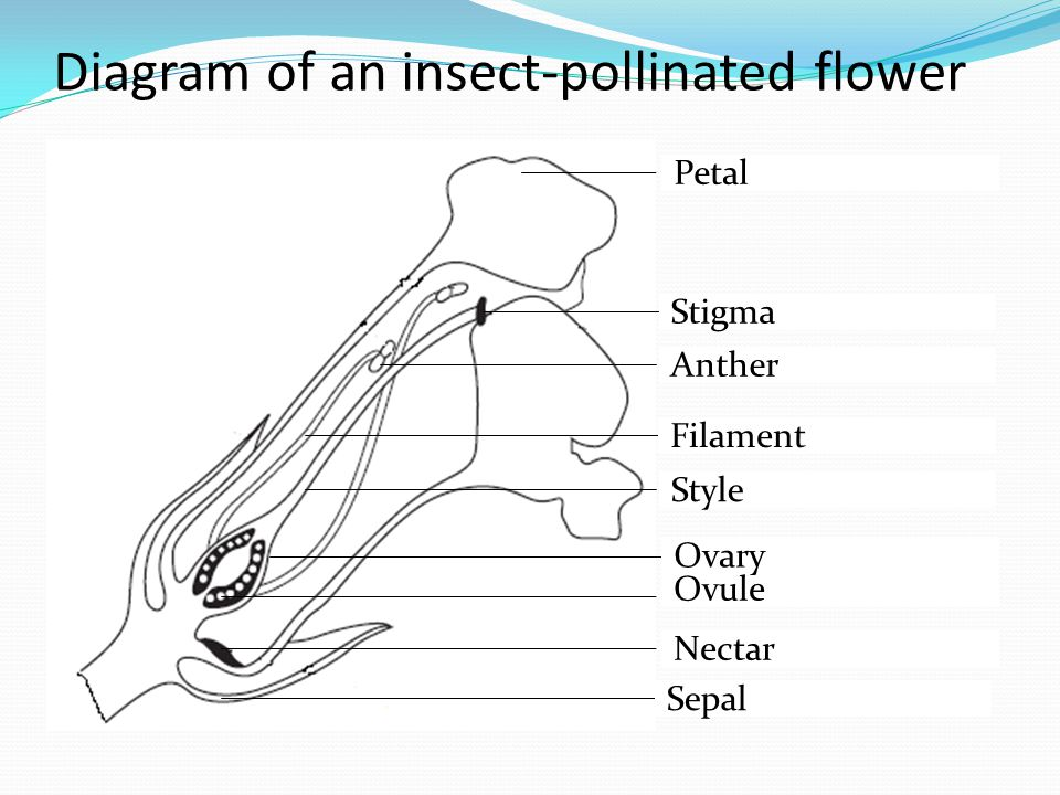 Diagram of an insect-pollinated flower