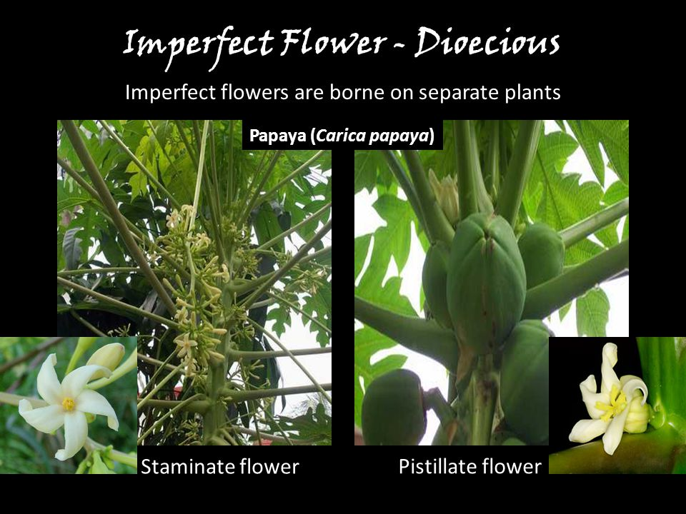 Imperfect Flower - Dioecious